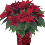 Red Poinsettia Plant Basket